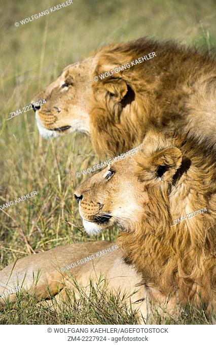 Two brother male lions (Panthera leo) looking for prey at the Linyanti Reserve near the Savuti Channel in northern part of Botswana