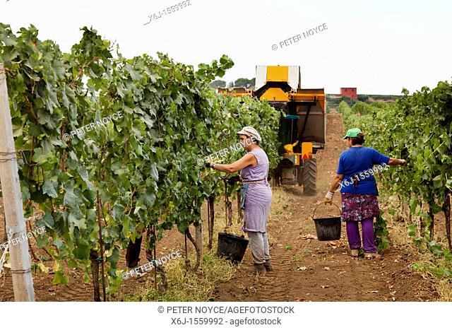hand pickers following the mechanical harvester harvesting wine grapes in Frascati, Italy