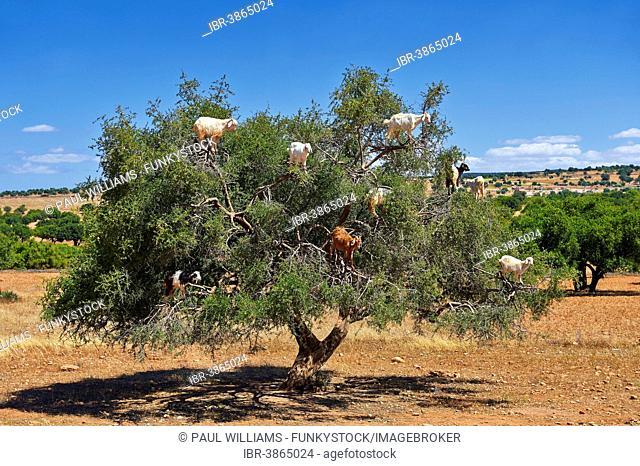 Goats feeding on Argan nuts in an Argan tree, near Essouira, Morocco