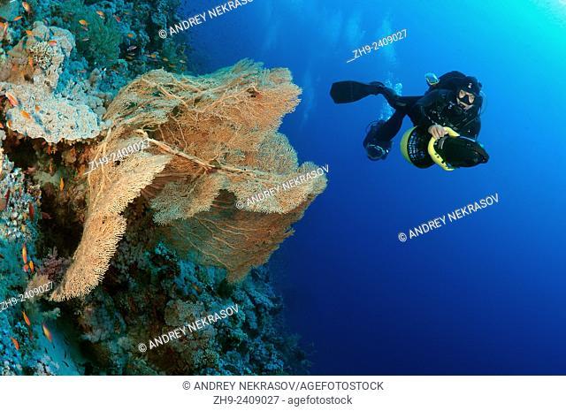 swims to underwater scooter near the soft coral Venus fan or Venus sea fan, common sea fan, West Indian sea fan or purple gorgonian seafan (Gorgonia flabellum)...