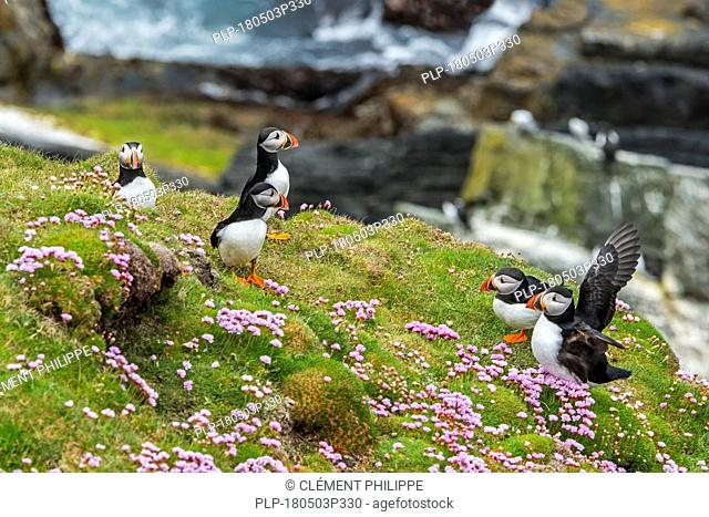 Atlantic puffins / Common puffins (Fratercula arctica) on cliff top in seabird colony at Sumburgh Head, Shetland Islands, Scotland, UK