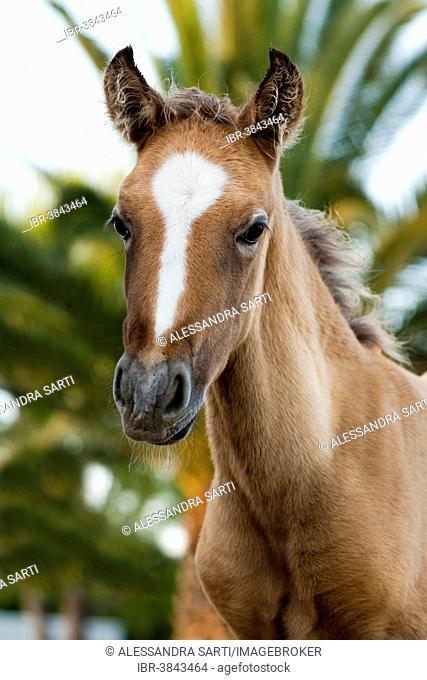 Lusitano horse, foal, Andalusia, Spain