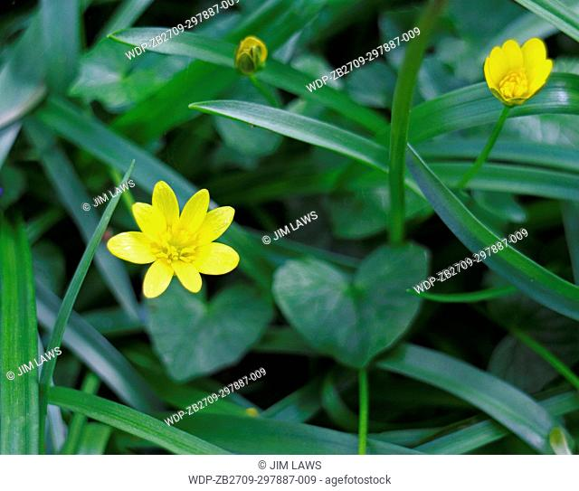 A view of Lesser Celandine, Ranunculus ficaria, on woodland floor at Foxley Wood, Norfolk, England, United Kingdom