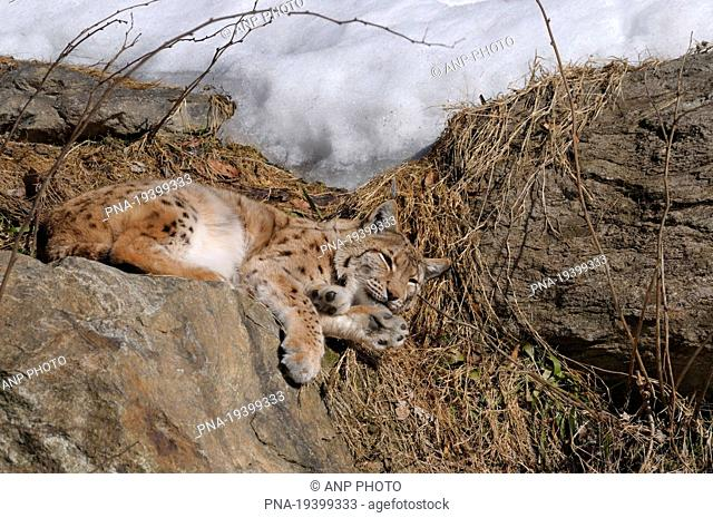 Eurasian Lynx Lynx lynx - Bavarian Forest, Bayerwald Tierpark Lohberg, Lohberg, Oberpfalz, Upper Palatinate, Bavaria, Bayern, Germany, Europe