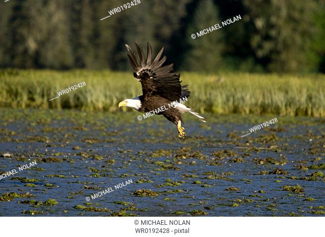 An adult bald eagle Haliaeetus leucocephalus in Windham Bay on the Alaskan coast in Southeast Alaska, USA Pacific Ocean It takes five years for a bald eagle to...