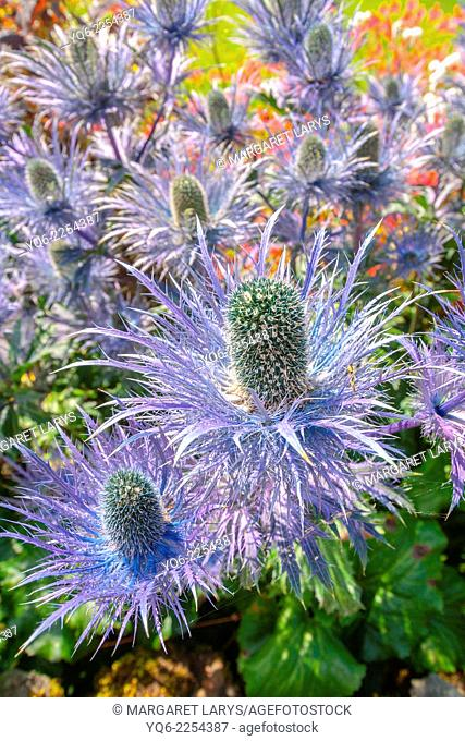 Beutiful blue thistle flowers in the garden, close up
