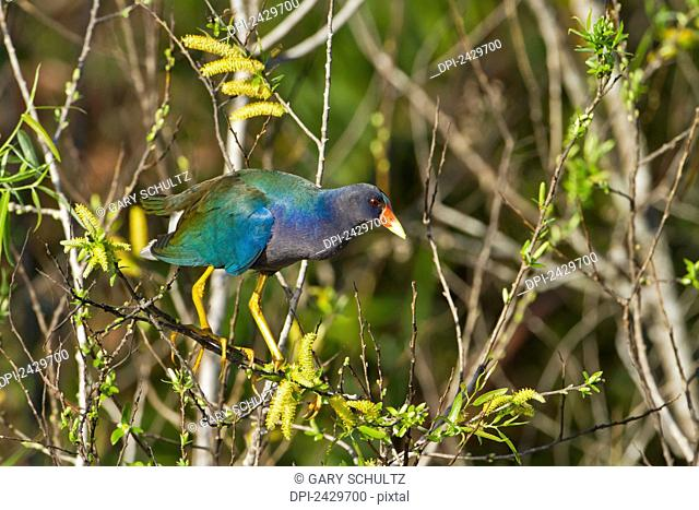 Purple gallinule (Porphyrula martinica) perched on a branch eating catkins, Everglades National Park; Florida, United States of America