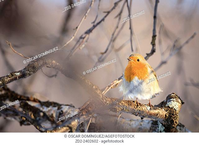 European Robin (Erithacus rubecula) perched on branch. Dovrefjell-Sunndalsfjella National Park. Norway