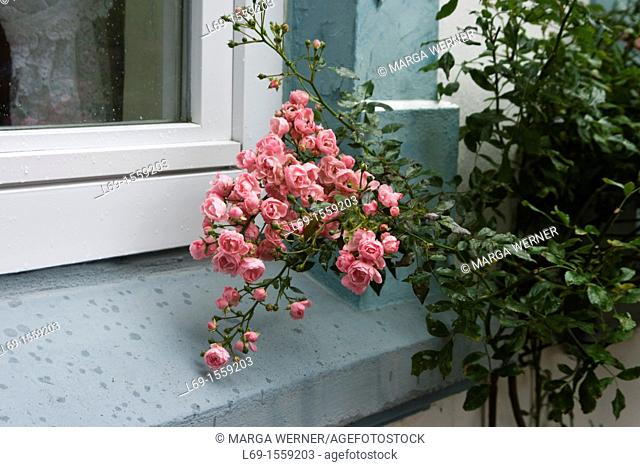 Rose tree at a window, town Arnis, Schlei Schleswig-Holstein, Germany, Europe