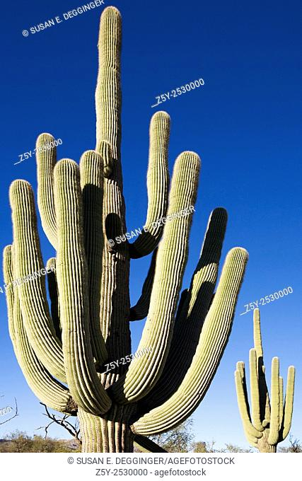 Giant Saguaro Cactus with several arms
