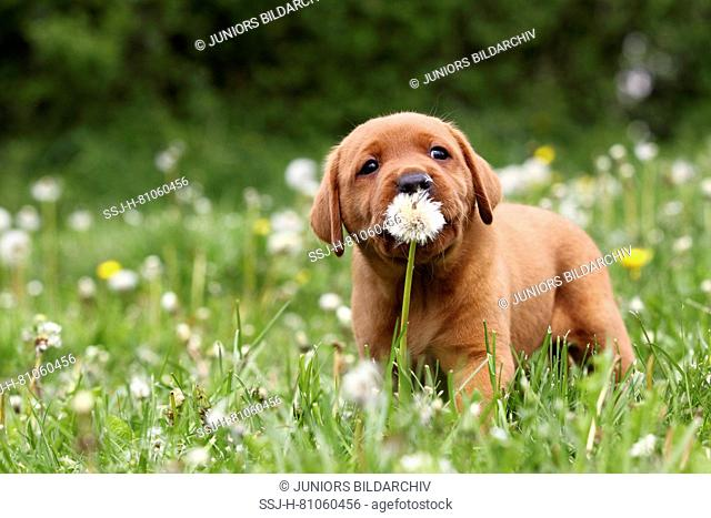 Labrador Retriever. Puppy (6 weeks old) gnawing on blowball. Sequence: 1 of 4. Germany