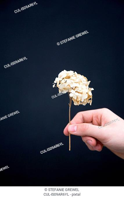 Person holding dried hydrangea flower