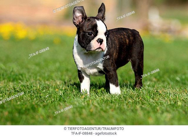 Boston Terrier Puppy
