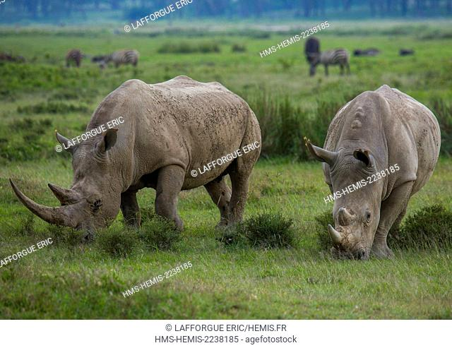 Kenya, Nakuru district of the Rift Valley Province, Nakuru, black rhinos (diceros bicornis)