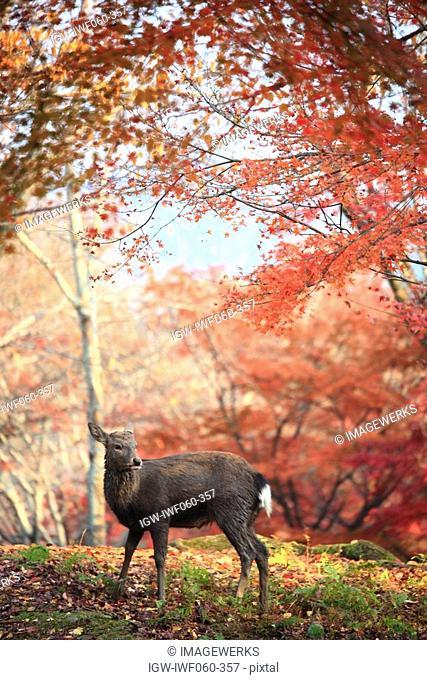 Japan, Nara Prefecture, Nara City, Deer in autumn forest