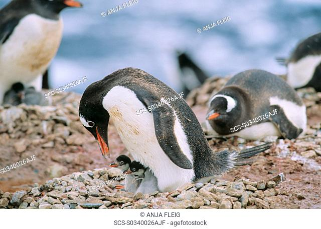 Gentoo Penguin Pygoscelis papua colony - some still lying on their eggs, others already have their chicks Neko Harbour, Antarctica