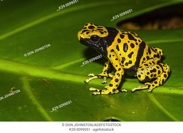 "Dendrobates leucomelas """"microspot"""", Understory Enterprises, Captive raised, Native to: Venezuela"
