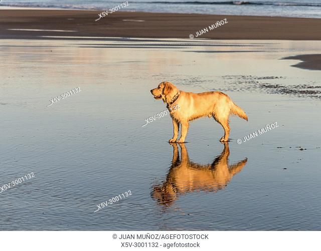 Golden Retriever with mirror reflection on the beach, Ayamonte, Huelva, Spain