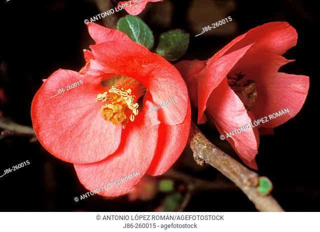 Japanese Quince (Chanomeles japonica)
