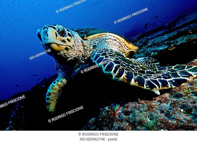 Large turtle resting on top of a wreck, oblivious to divers, Isla Mujeres, Mexico