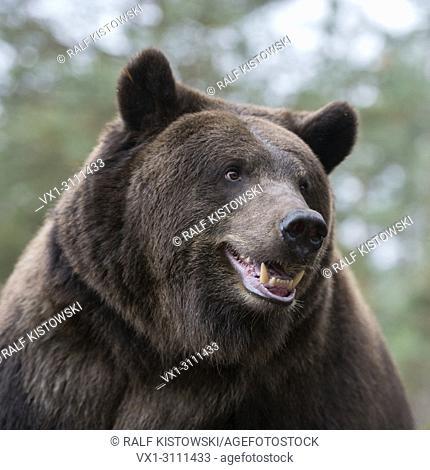 European Brown Bear / Europäischer Braunbaer ( Ursus arctos ), close up, detailed head shot, Europe