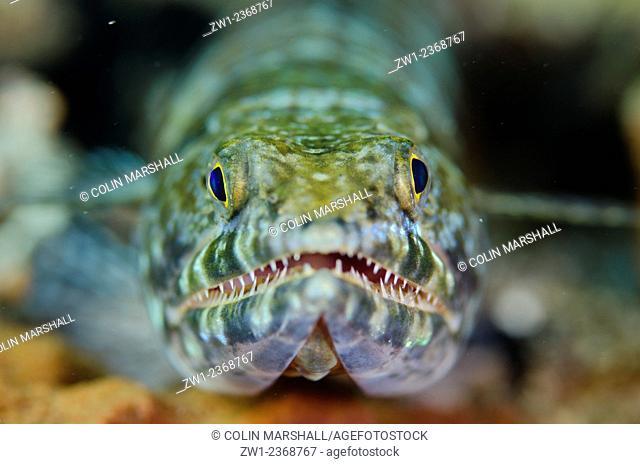 Reef Lizardfish (Synodus variegatus) on black sand, Batu Sandar dive site, Lembeh Straits, Sulawesi, Indonesia