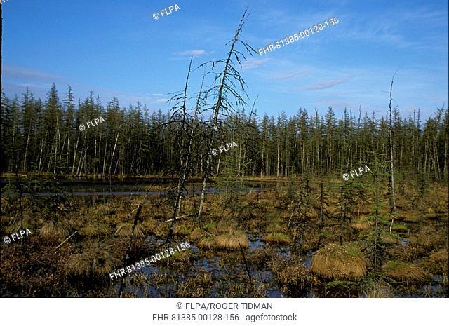 Russia Taiga, tussocks and pool with conifers Eastern Siberia S