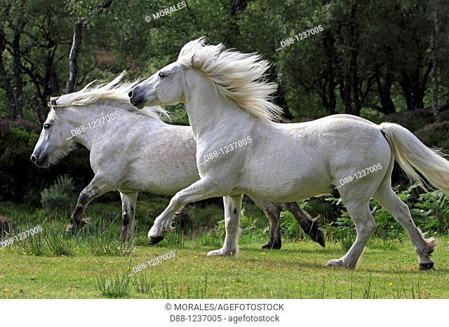 Highland Pony  Equus ferus caballus