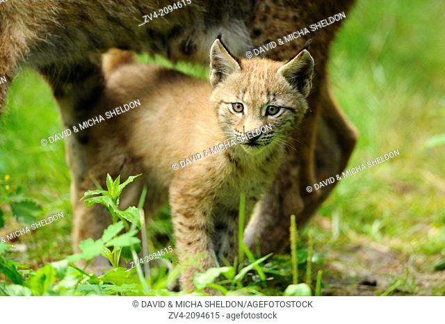 Close-up of a Eurasian lynx (Lynx lynx) cub