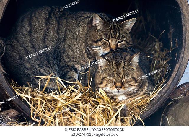 wild cats. Shot through wire mesh fencing. Scotland