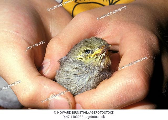 Close up of a young bird in the hand of a child