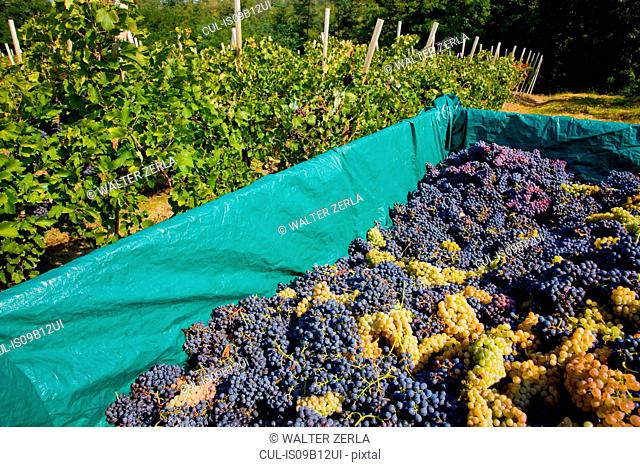 Harvested grapes, Langhe Nebbiolo, Piedmont, Italy
