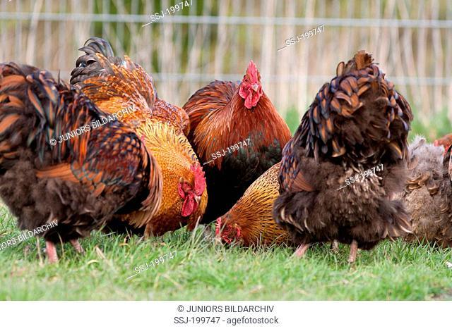Domestic Chicken, Orpington (Gallus gallus domesticus). Cocks picking in a chicken run. Germany