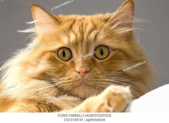Fluffy cross persian pet cat. UK
