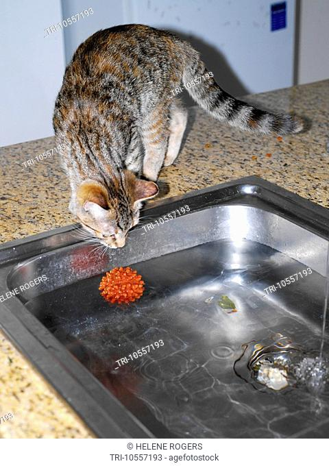Six Month Old Tabby Kitten Looking at Ball in Water in the Kitchen Sink