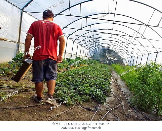 Greenhouse with strawberry and pepper plantations. Hortasan organic farm at Feal, San Mamede de Ribadulla Parish, Vedra Council