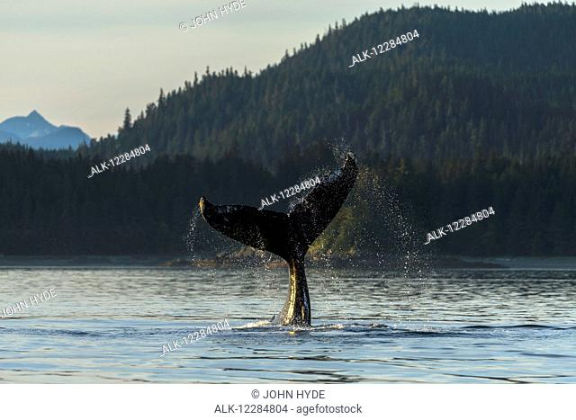 A Humpback whale slaps its tail on the calm waters of the Inside Passage near Lynn Canal, Southeast Alaska