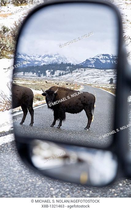 Buffalo Bison bison herd causing traffic delays in Yellowstone National Park, Wyoming, USA