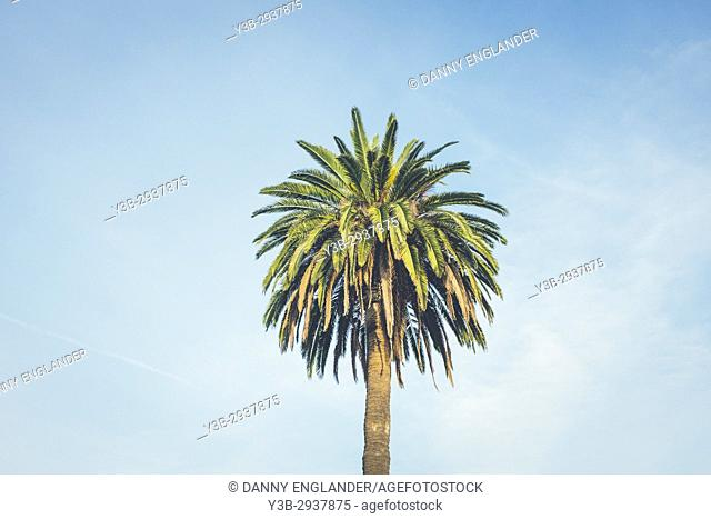 A canary island palm tree with a dreamy blue sky in the background, San Diego, California