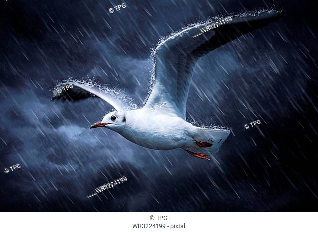 Seagull flies on the rain and wind, Kunming, Yunnan, China
