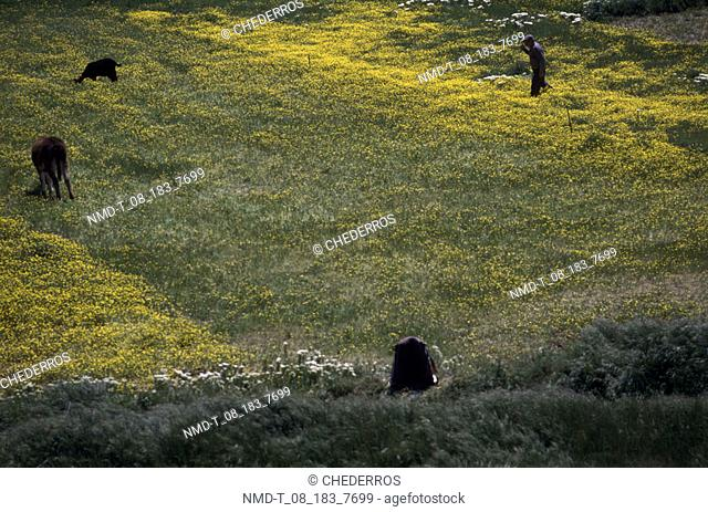 High angle view of a man with cattle grazing in a field, Crete, Greece