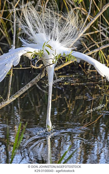 Great egret (Casmerodius albus, Ardea alba, Egretta alba) reaching for and procuring nest material, Smith Oaks Audubon Rookery, High Island, Texas, USA
