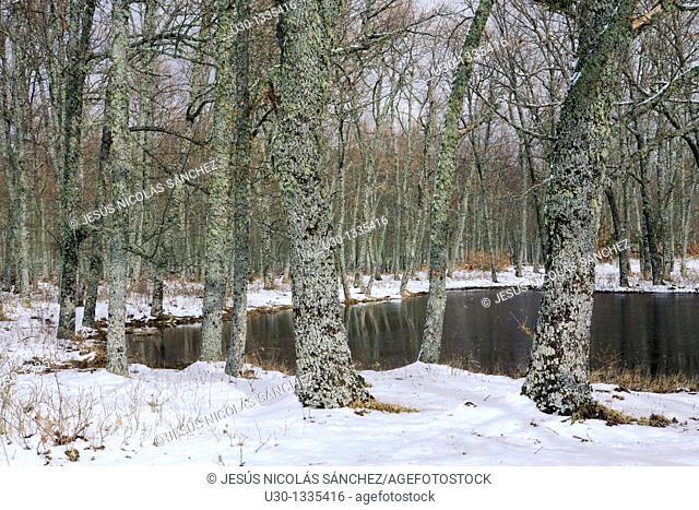 Oak forest in the Sierra de Francia in winter, Biosphere Reserve of Sierra de Béjar and Francia, San Martín del Castañar, Salamanca province