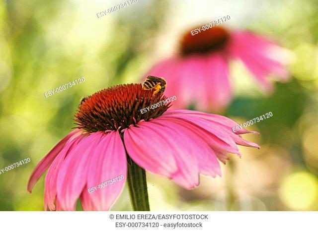 Purple coneflowers Echinacea purpurea