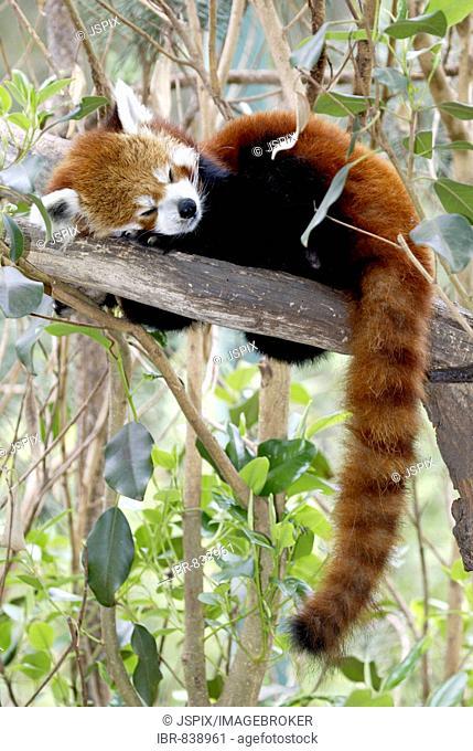 Red or Lesser Panda, Firefox (Ailurus fulgens fulgens), sleeping adult, native to Asia, China