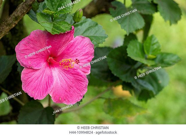 USA, Hawaii, Oahu, Hibiscus