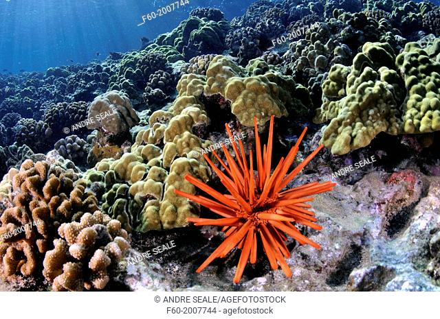 Healthy coral reef with a red slate pencil urchin, Heterocentrotus mamillatus, Molokini, Maui, Hawaii, USA