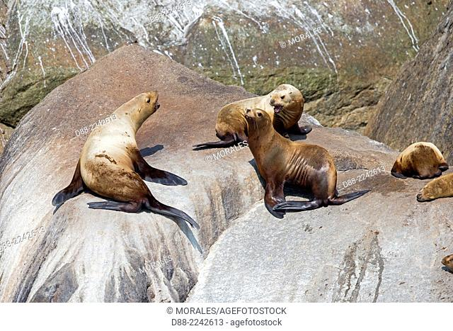 North America,United States,Alaska,Southcentral Alaska,Kenai Peninsula,Kenai Fjords National Park,Steller sea lion (Eumetopias jubatus),colony on the rocks