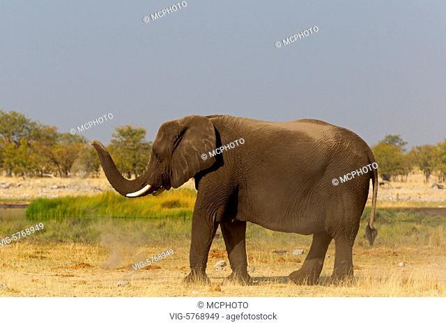 Afrikanischer Elefant, Loxodonta africana, African Bush Elephant, African Savanna Elephant, Éléphant de savane d'Afrique