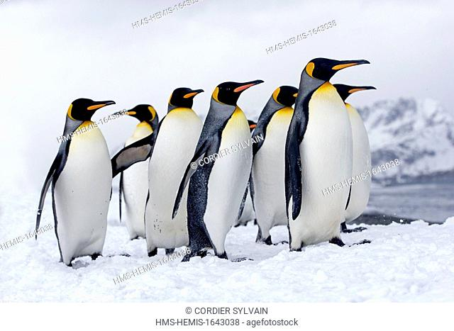Antarctic, South Georgia Island, Salysbury plains, King Penguin (Aptenodytes patagonicus), adults in the snow and the mist